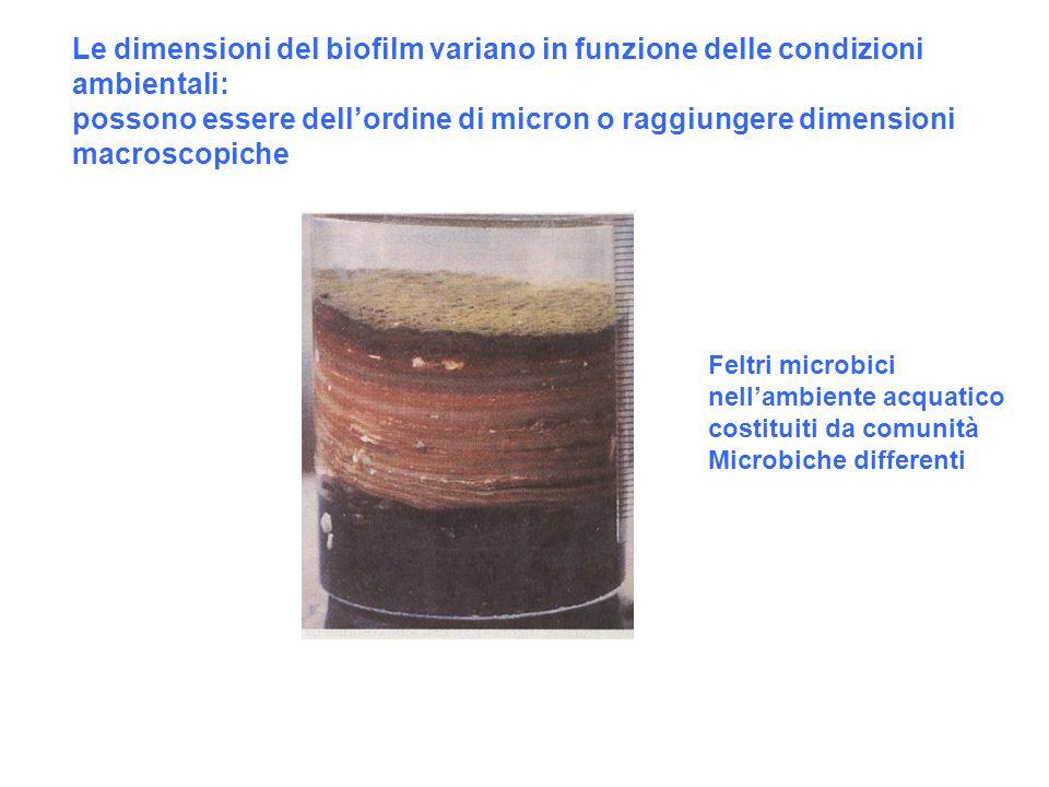 Le dimensioni del biofilm variano in funzione delle condizioni ambientali: possono essere dell'ordine di micron o raggiungere dimensioni macroscopiche