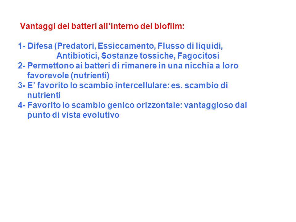 Vantaggi dei batteri all'interno dei biofilm: 1- Difesa (Predatori, Essiccamento, Flusso di liquidi, Antibiotici, Sostanze tossiche, Fagocitosi 2- Per