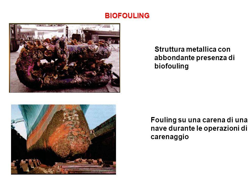 BIOFOULING BIOFOULING Struttura metallica con abbondante presenza di biofouling Fouling su una carena di una nave durante le operazioni di carenaggio