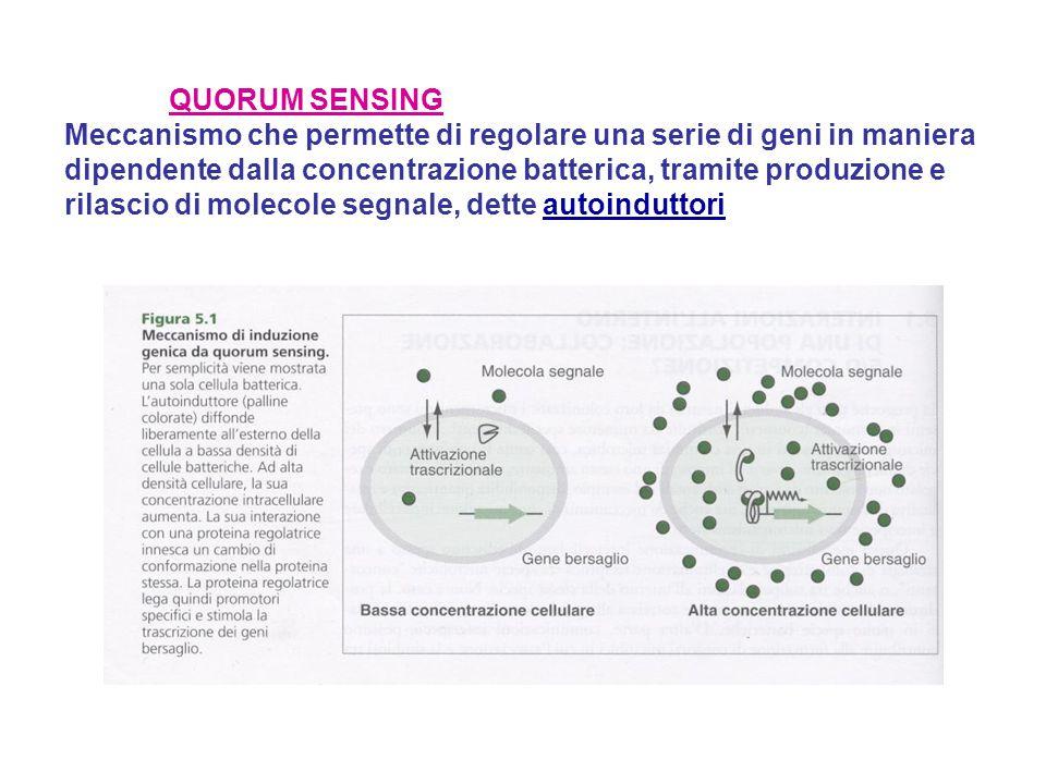 QUORUM SENSING Meccanismo che permette di regolare una serie di geni in maniera dipendente dalla concentrazione batterica, tramite produzione e rilasc