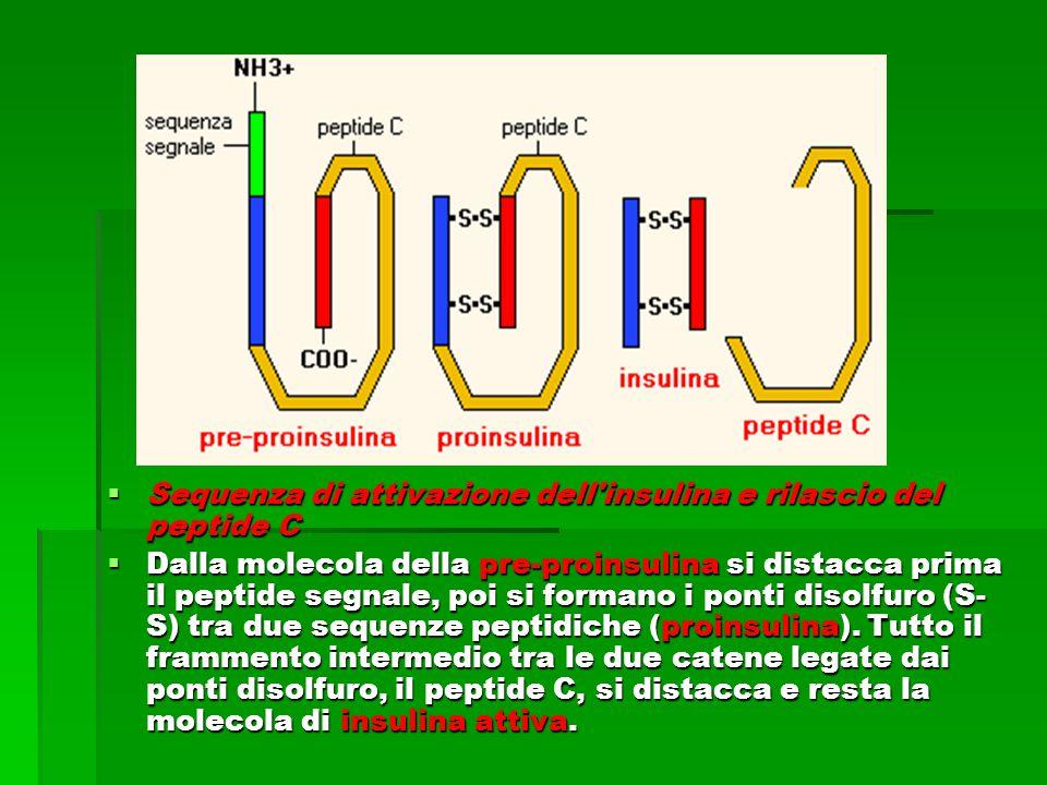  Sequenza di attivazione dell insulina e rilascio del peptide C  Dalla molecola della pre-proinsulina si distacca prima il peptide segnale, poi si formano i ponti disolfuro (S- S) tra due sequenze peptidiche (proinsulina).