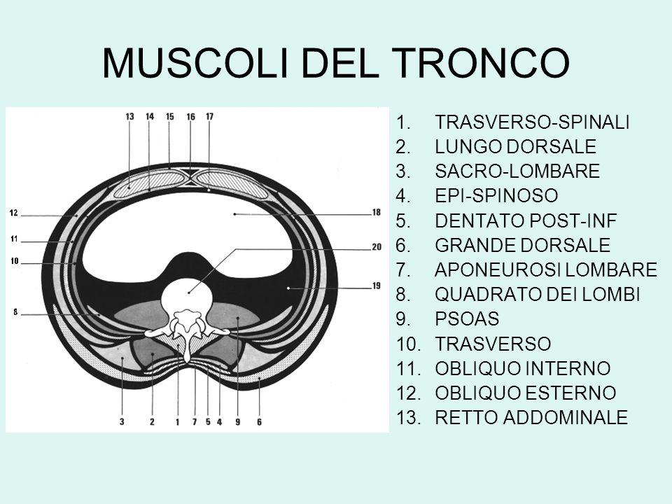 MUSCOLI DEL TRONCO 1.TRASVERSO-SPINALI 2.LUNGO DORSALE 3.SACRO-LOMBARE 4.EPI-SPINOSO 5.DENTATO POST-INF 6.GRANDE DORSALE 7.APONEUROSI LOMBARE 8.QUADRA