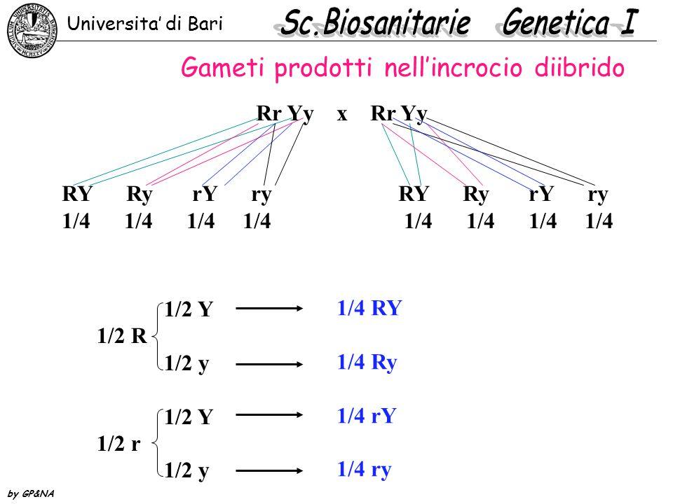 Rr Yy x Rr YyRY Ry rY ry 1/4 1/4 1/4 1/4 1/2 Y 1/2 R 1/2 y 1/2 Y 1/2 r 1/2 y 1/4 RY 1/4 Ry 1/4 rY 1/4 ry B Gameti prodotti nell'incrocio diibrido Universita' di Bari by GP&NA