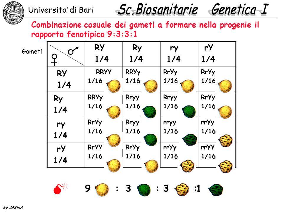 Combinazione casuale dei gameti a formare nella progenie il rapporto fenotipico 9:3:3:1 RY 1/4 Ry 1/4 ry 1/4 rY 1/4 RY 1/4 RRYY 1/16 RRYy 1/16 RrYy 1/16 RrYy 1/16 Ry 1/4 RRYy 1/16 Rryy 1/16 Rryy 1/16 RrYy 1/16 ry 1/4 RrYy 1/16 Rryy 1/16 rryy 1/16 rrYy 1/16 rY 1/4 RrYY 1/16 RrYy 1/16 rrYy 1/16 rrYY 1/16 Gameti 1  9 : 3 : Universita' di Bari by GP&NA