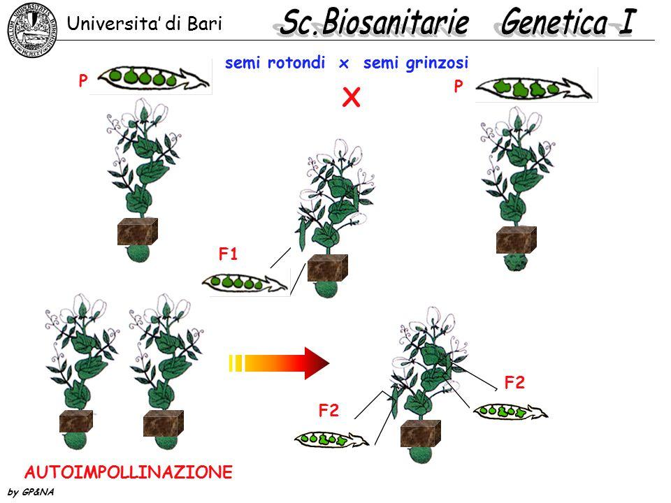 semi rotondi x semi grinzosi AUTOIMPOLLINAZIONE F2 F1 X P P Universita' di Bari by GP&NA