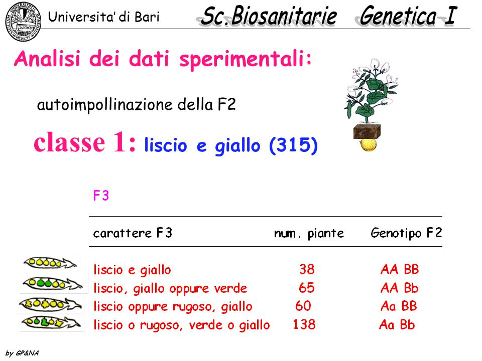 Analisi dei dati sperimentali: classe 1: liscio e giallo (315) autoimpollinazione della F2 Universita' di Bari by GP&NA
