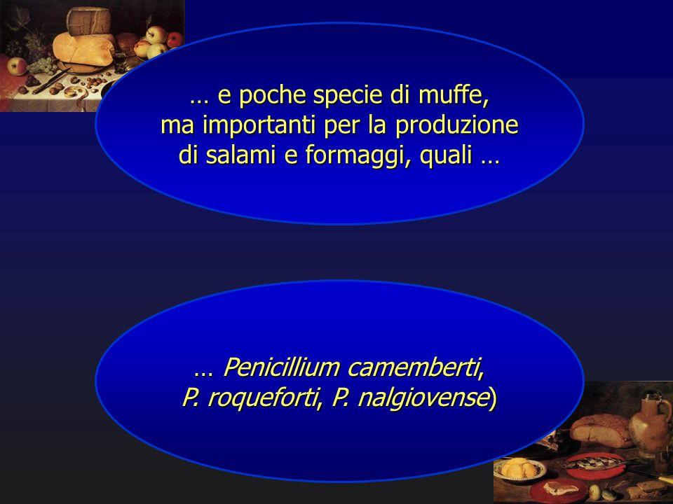 … e poche specie di muffe, ma importanti per la produzione di salami e formaggi, quali … … Penicillium camemberti, P. roqueforti, P. nalgiovense)