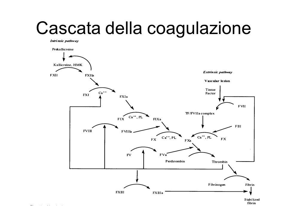 Fattori della coagulazione Fattori della coagulazione in forma inattiva sono prodotti dal fegato ed immessi nel circolo ematico.