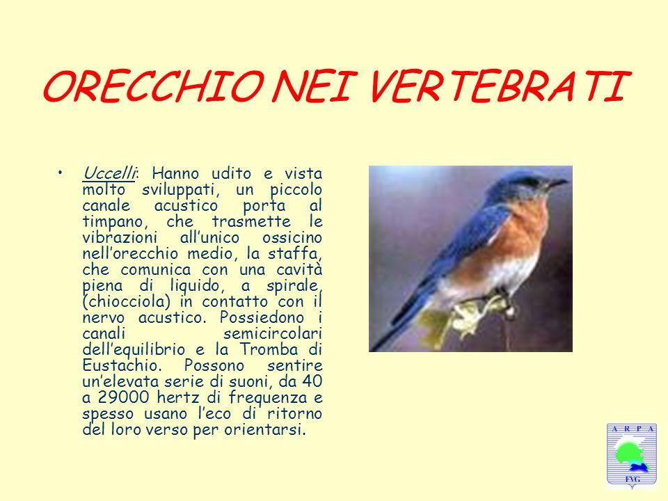 ORECCHIO NEI VERTEBRATI Uccelli: Hanno udito e vista molto sviluppati, un piccolo canale acustico porta al timpano, che trasmette le vibrazioni all'un
