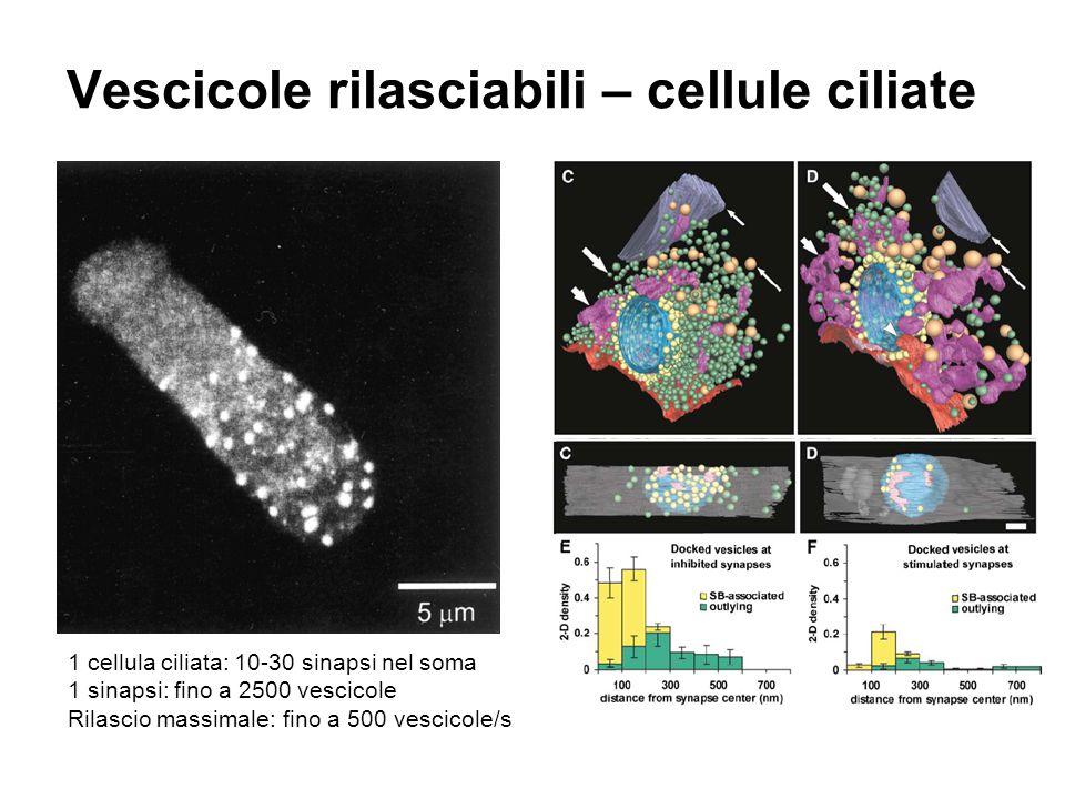 Vescicole rilasciabili – cellule ciliate 1 cellula ciliata: 10-30 sinapsi nel soma 1 sinapsi: fino a 2500 vescicole Rilascio massimale: fino a 500 ves