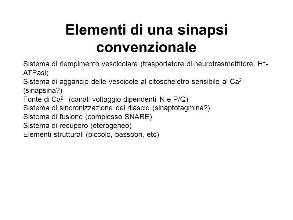 Elementi di una sinapsi convenzionale Sistema di riempimento vescicolare (trasportatore di neurotrasmettitore, H + - ATPasi) Sistema di aggancio delle