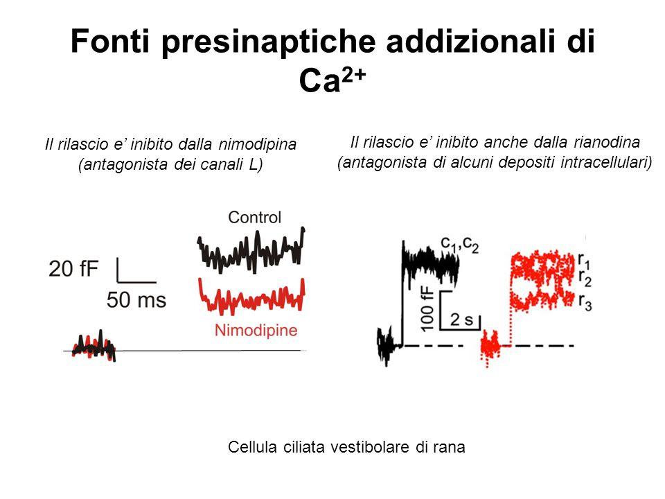 Fonti presinaptiche addizionali di Ca 2+ Cellula ciliata vestibolare di rana Il rilascio e' inibito dalla nimodipina (antagonista dei canali L) Il ril
