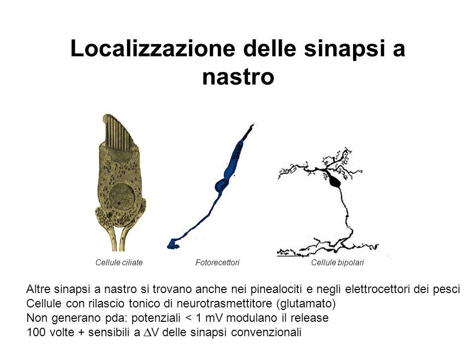 Localizzazione delle sinapsi a nastro Cellule ciliate Fotorecettori Cellule bipolari Altre sinapsi a nastro si trovano anche nei pinealociti e negli e