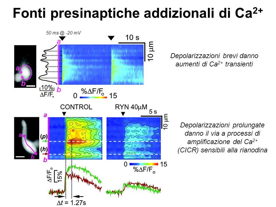 Fonti presinaptiche addizionali di Ca 2+ 50 ms @ -20 mV Depolarizzazioni brevi danno aumenti di Ca 2+ transienti Depolarizzazioni prolungate danno il