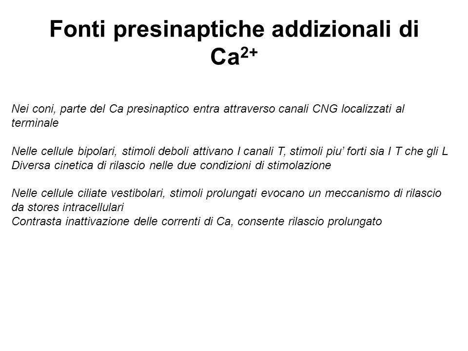 Fonti presinaptiche addizionali di Ca 2+ Nei coni, parte del Ca presinaptico entra attraverso canali CNG localizzati al terminale Nelle cellule bipola