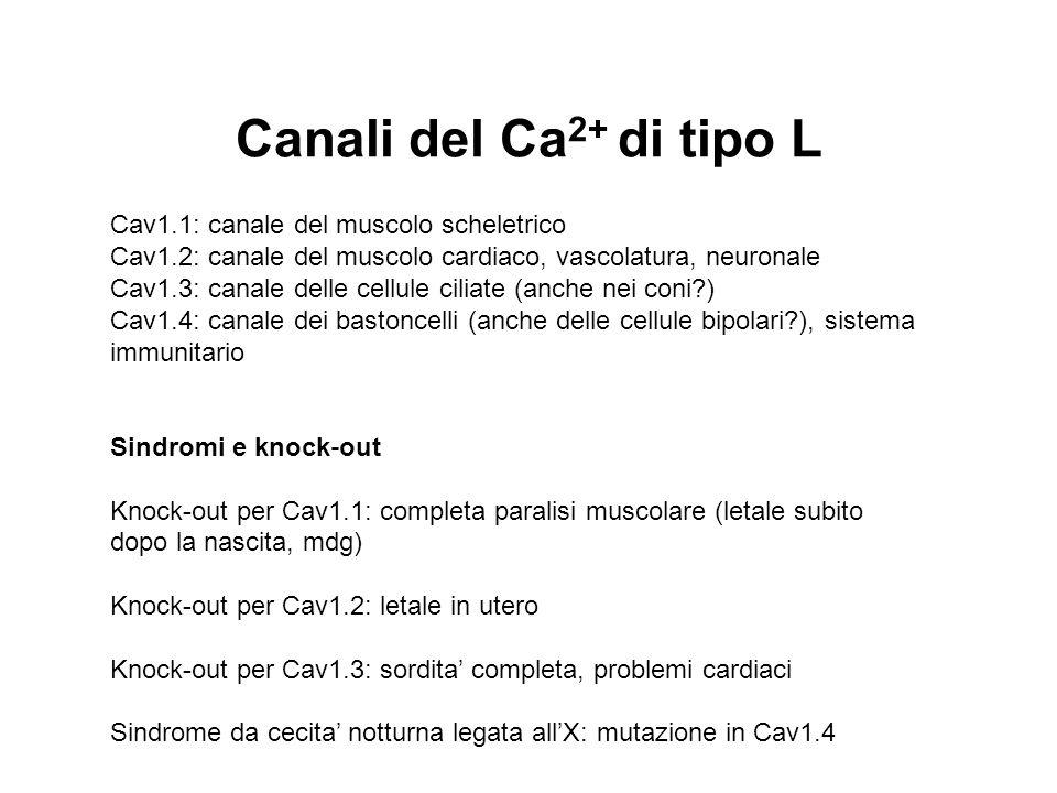 Canali del Ca 2+ di tipo L Cav1.1: canale del muscolo scheletrico Cav1.2: canale del muscolo cardiaco, vascolatura, neuronale Cav1.3: canale delle cel