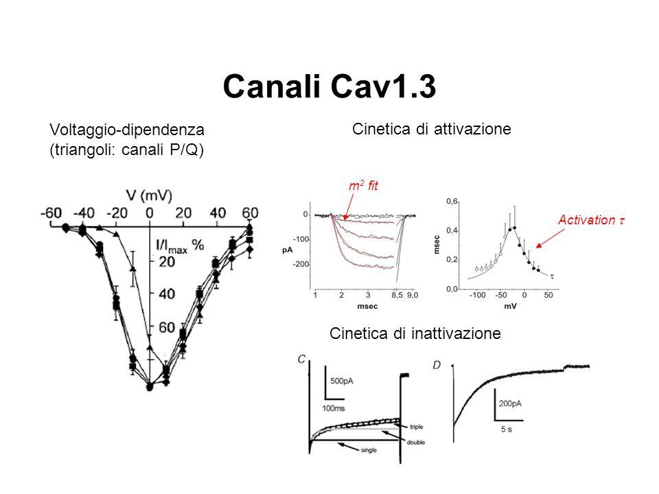 Canali Cav1.3 Voltaggio-dipendenza (triangoli: canali P/Q) m 2 fit Activation  Cinetica di attivazione Cinetica di inattivazione