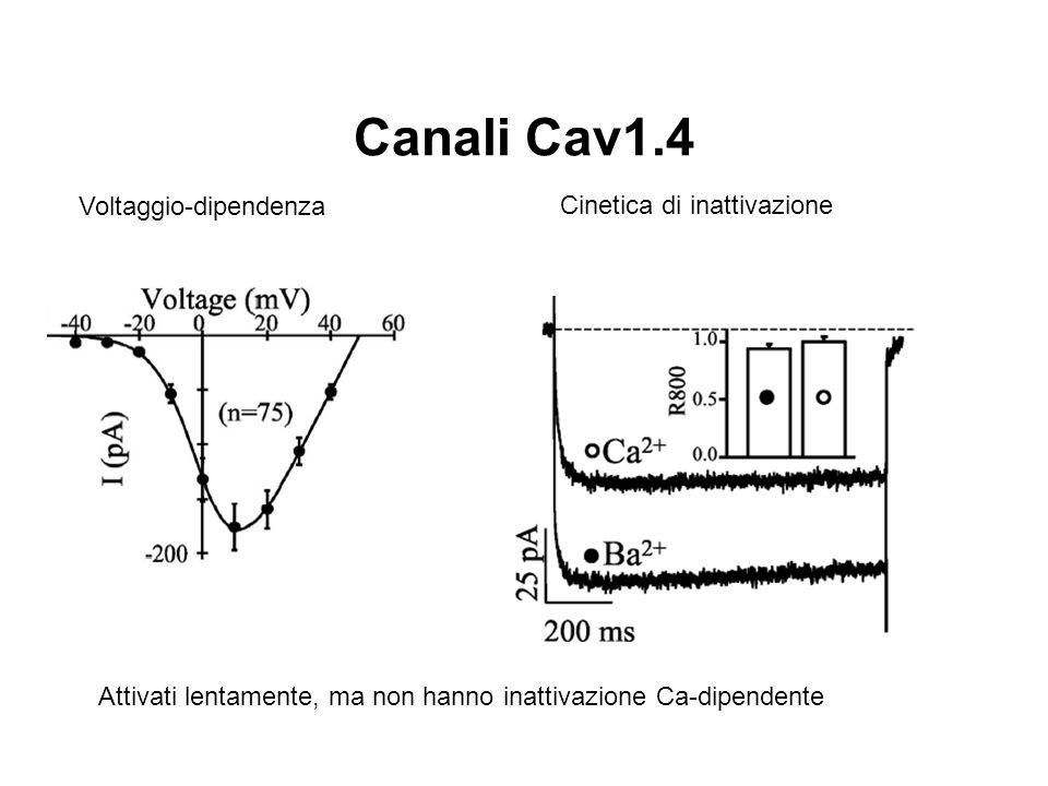 Canali Cav1.4 Voltaggio-dipendenza Cinetica di inattivazione Attivati lentamente, ma non hanno inattivazione Ca-dipendente