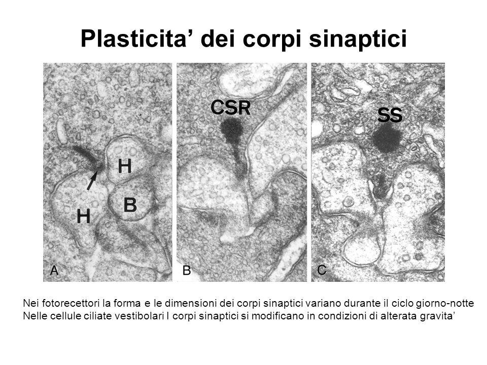 Plasticita' dei corpi sinaptici Nei fotorecettori la forma e le dimensioni dei corpi sinaptici variano durante il ciclo giorno-notte Nelle cellule cil