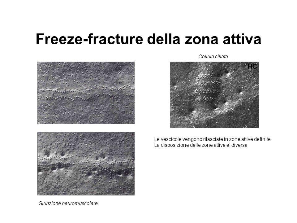 Freeze-fracture della zona attiva Le vescicole vengono rilasciate in zone attive definite La disposizione delle zone attive e' diversa Giunzione neuro