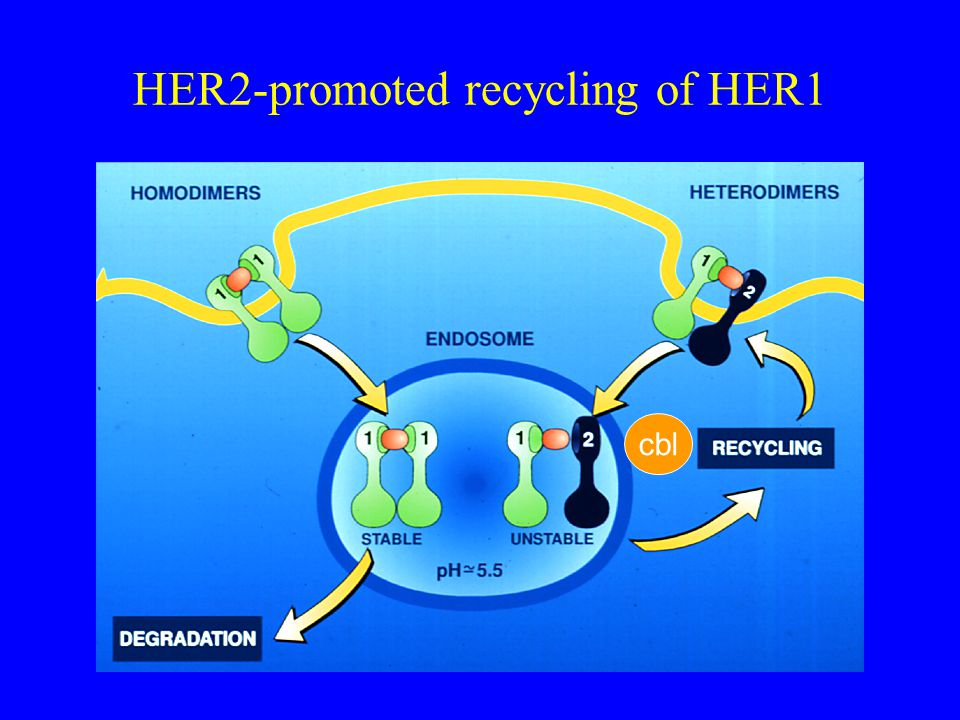 HER2-promoted recycling of HER1 cbl