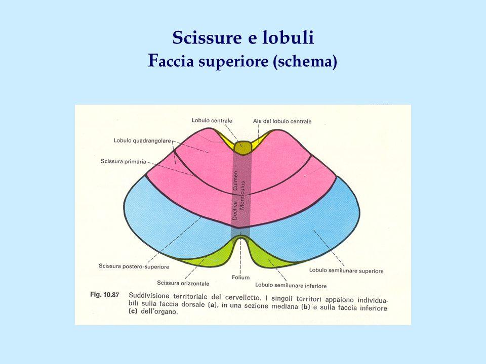 Scissure e lobuli F accia superiore (schema)