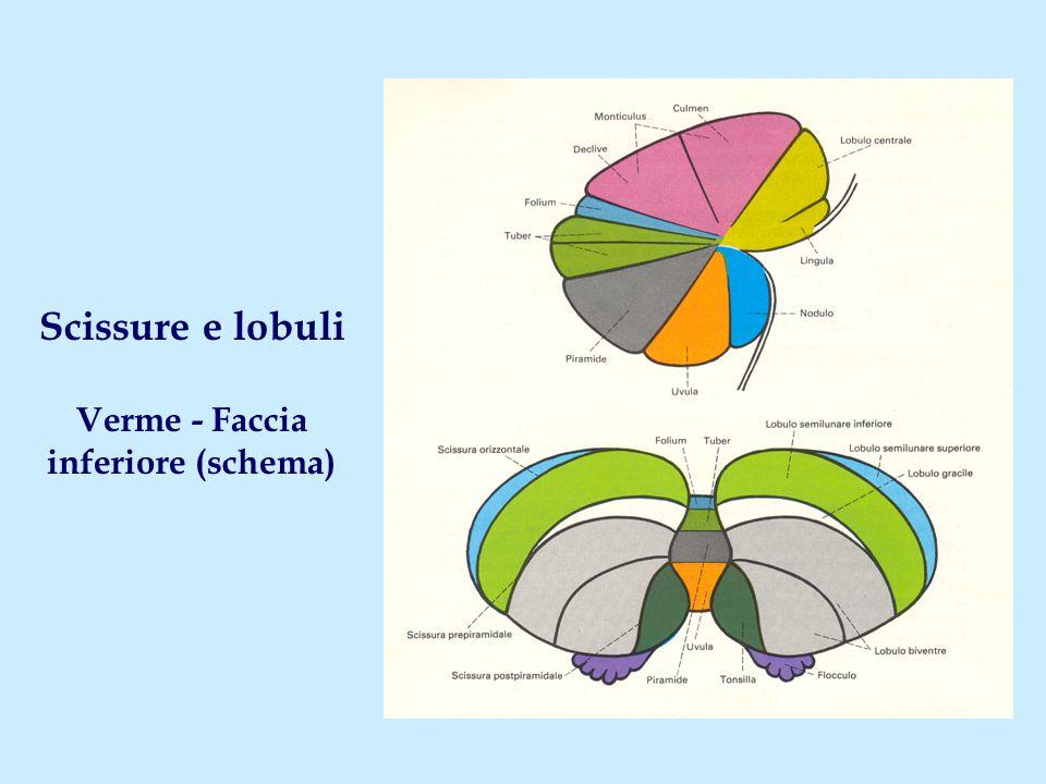 Scissure e lobuli Verme - Faccia inferiore (schema)
