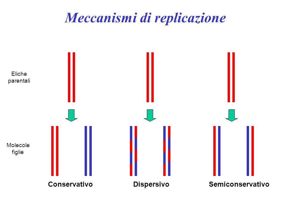 Eliche parentali Molecole figlie ConservativoDispersivoSemiconservativo Meccanismi di replicazione