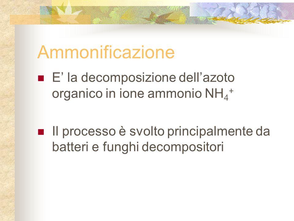 Ammonificazione E' la decomposizione dell'azoto organico in ione ammonio NH 4 + Il processo è svolto principalmente da batteri e funghi decompositori