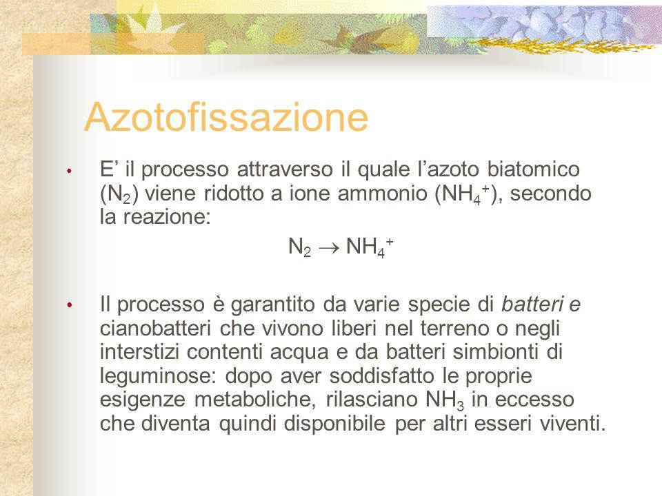 Azotofissazione E' il processo attraverso il quale l'azoto biatomico (N 2 ) viene ridotto a ione ammonio (NH 4 + ), secondo la reazione: N 2  NH 4 + Il processo è garantito da varie specie di batteri e cianobatteri che vivono liberi nel terreno o negli interstizi contenti acqua e da batteri simbionti di leguminose: dopo aver soddisfatto le proprie esigenze metaboliche, rilasciano NH 3 in eccesso che diventa quindi disponibile per altri esseri viventi.