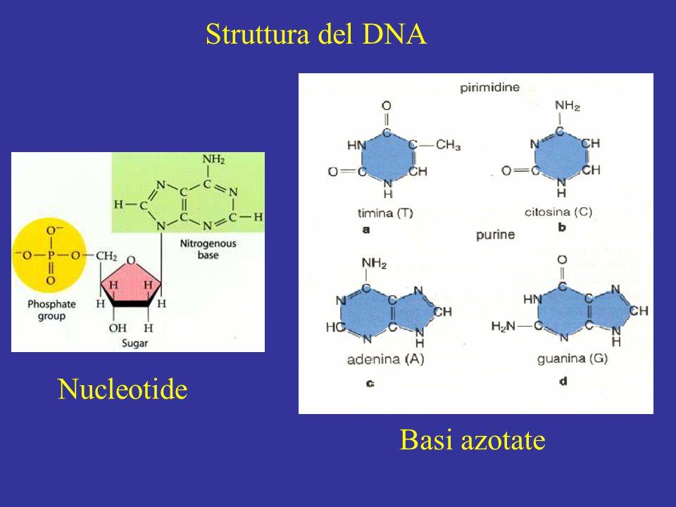 Struttura del DNA Nucleotide Basi azotate
