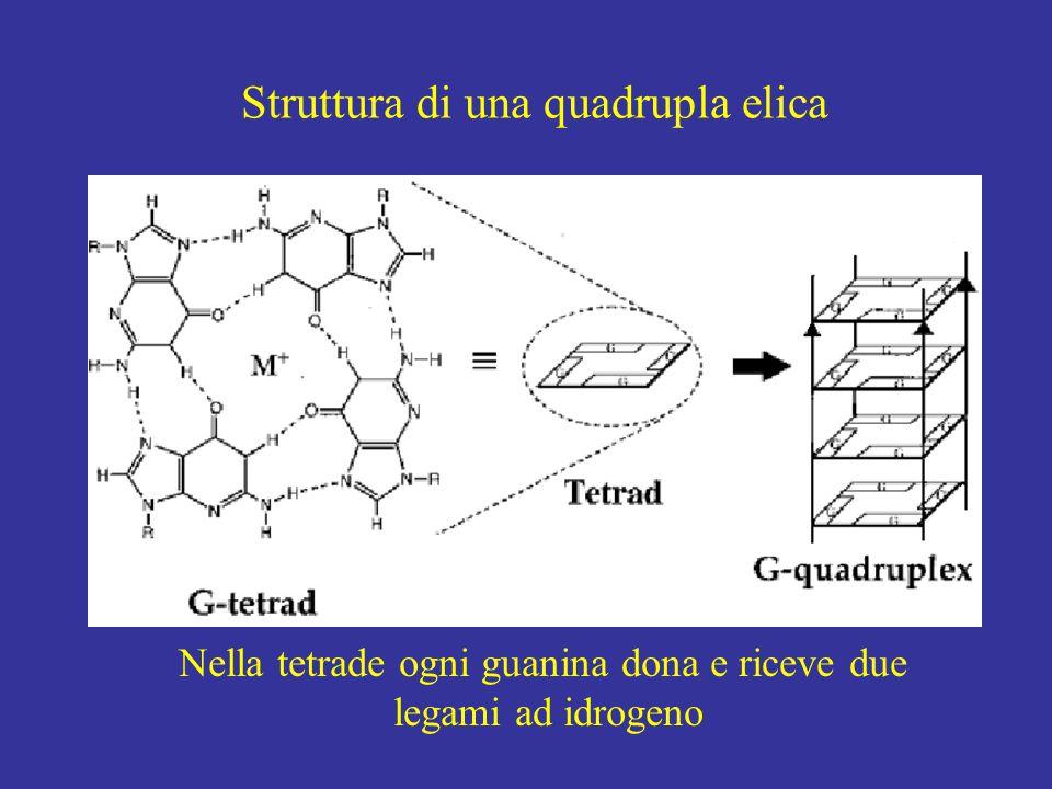 Struttura di una quadrupla elica Nella tetrade ogni guanina dona e riceve due legami ad idrogeno