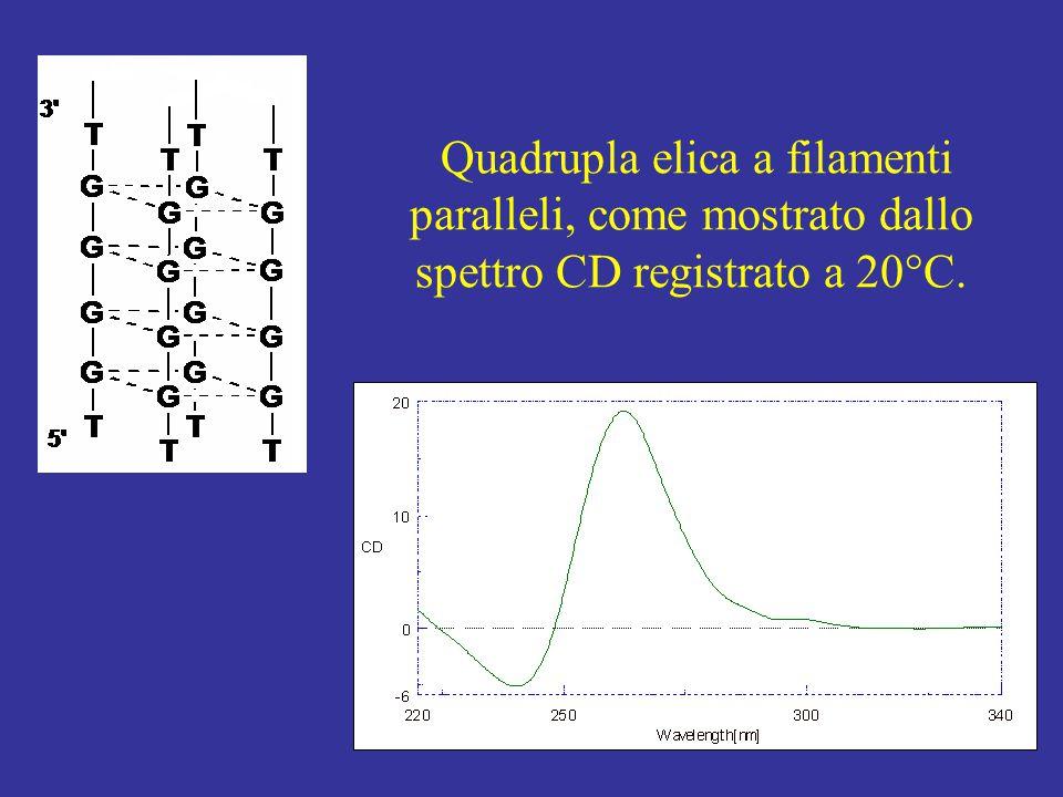 Quadrupla elica a filamenti paralleli, come mostrato dallo spettro CD registrato a 20°C.