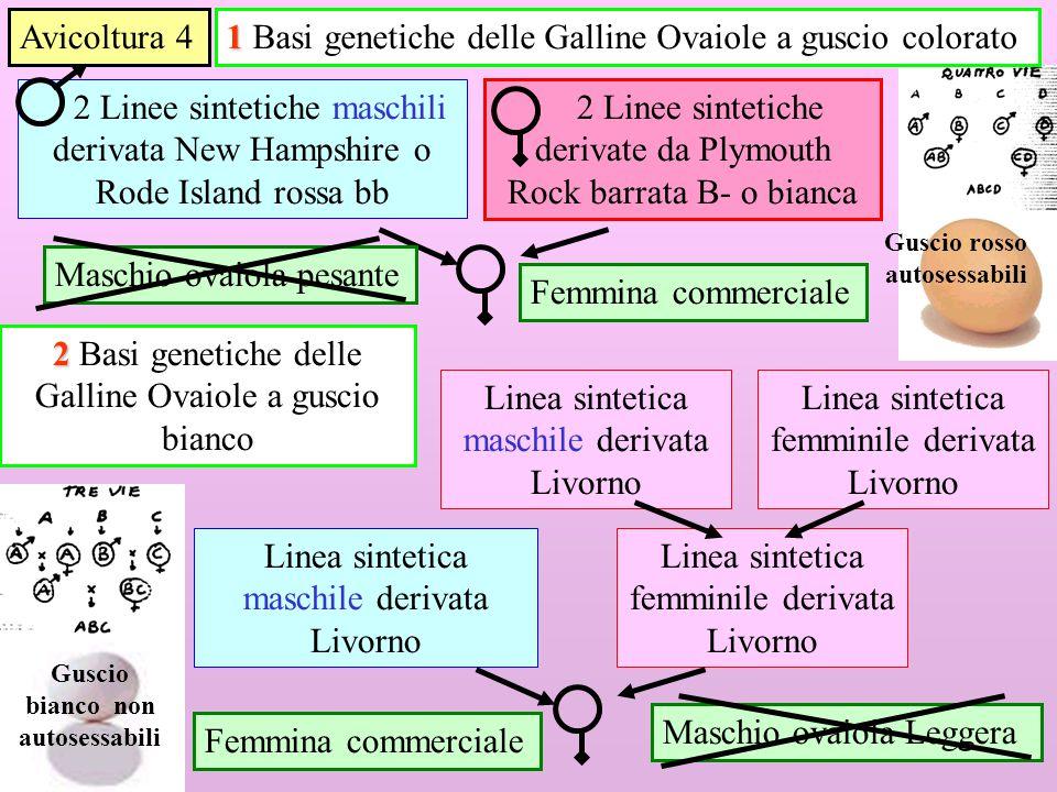 1 Linea sintetica femminile derivata Livorno 2 Linee sintetiche maschili derivata New Hampshire o Rode Island rossa bb 2 Linee sintetiche derivate da