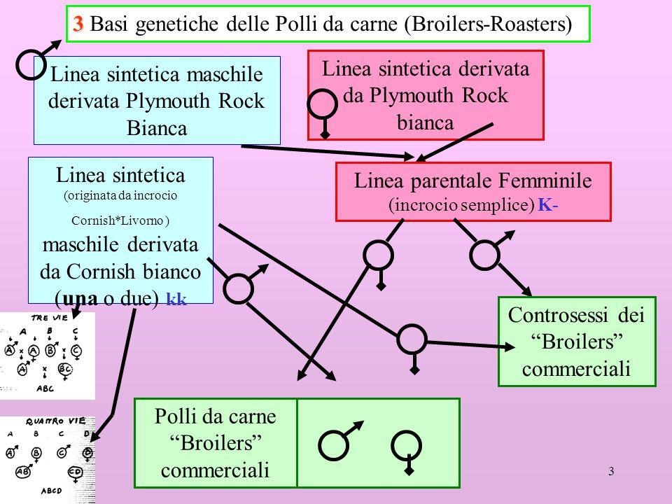 3 3 3 Basi genetiche delle Polli da carne (Broilers-Roasters) Linea sintetica maschile derivata Plymouth Rock Bianca Linea sintetica derivata da Plymo
