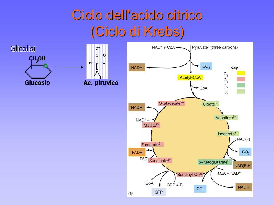 Ciclo dell'acido citrico (Ciclo di Krebs) GlucosioAc. piruvicoGlicolisi