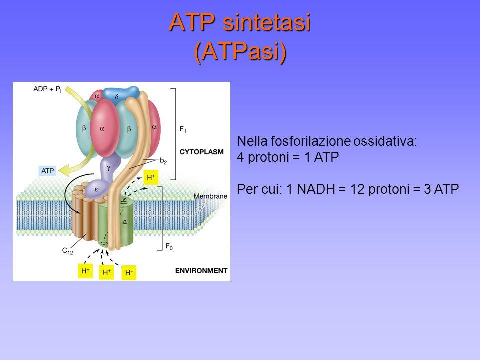 ATP sintetasi (ATPasi) Nella fosforilazione ossidativa: 4 protoni = 1 ATP Per cui: 1 NADH = 12 protoni = 3 ATP