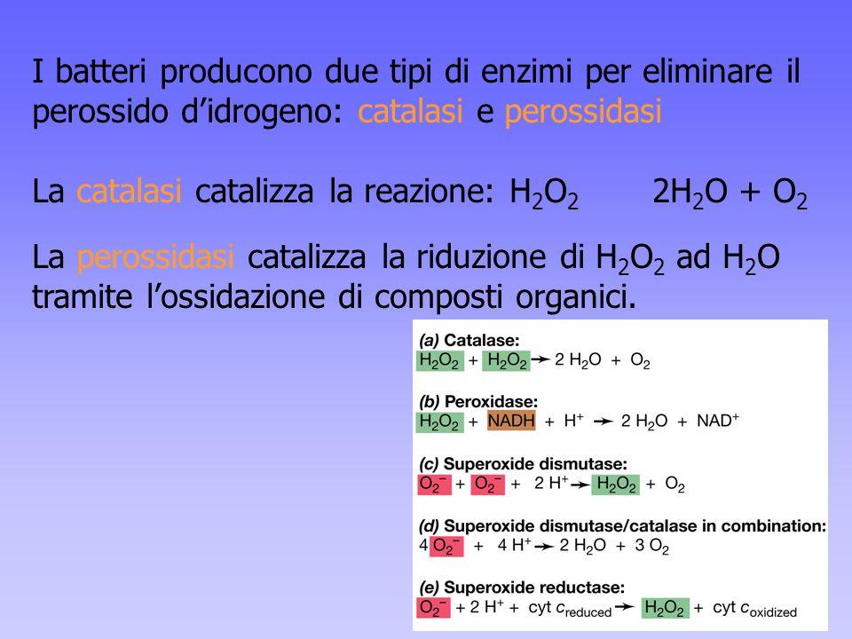 I batteri producono due tipi di enzimi per eliminare il perossido d'idrogeno: catalasi e perossidasi La catalasi catalizza la reazione: H 2 O 2 2H 2 O