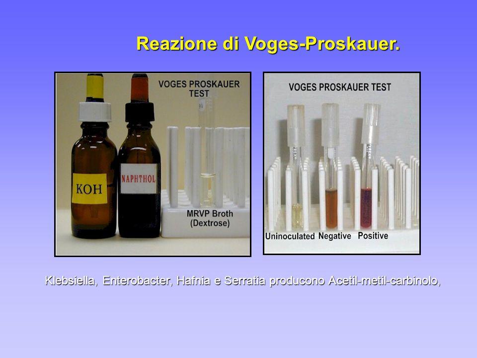 Reazione di Voges-Proskauer. Klebsiella, Enterobacter, Hafnia e Serratia producono Acetil-metil-carbinolo,