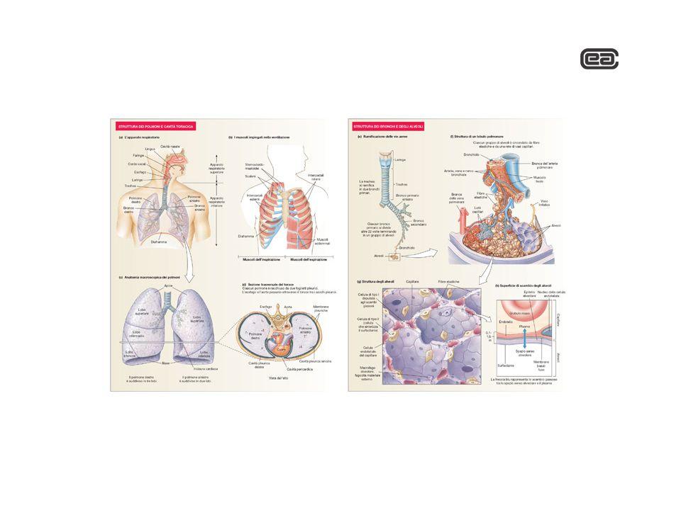Quali sono le resistenze che l'aria incontra nel suo cammino verso gli alveoli?
