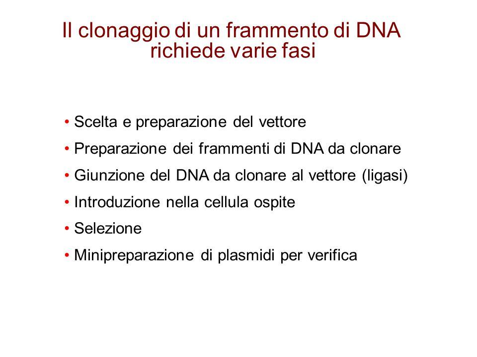 Scelta e preparazione del vettore Preparazione dei frammenti di DNA da clonare Giunzione del DNA da clonare al vettore (ligasi) Introduzione nella cel