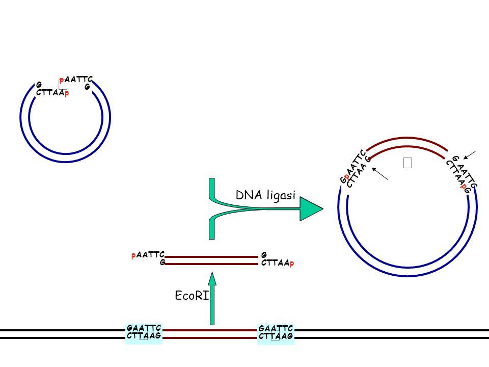 Trattamento del vettore con fosfatasi G CTTAAp pAATTC G G AATTC CTTAApG GpAATTC CTTAA G DNA ligasi pAATTC G CTTAAp EcoRI G CTTAA AATTC G fosfatasi GAA
