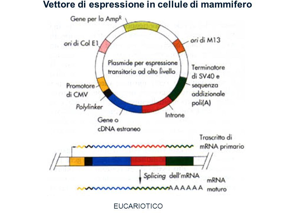 Vettore di espressione in cellule di mammifero EUCARIOTICO