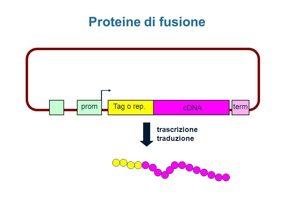 promTag o rep. cDNA term trascrizione traduzione Proteine di fusione