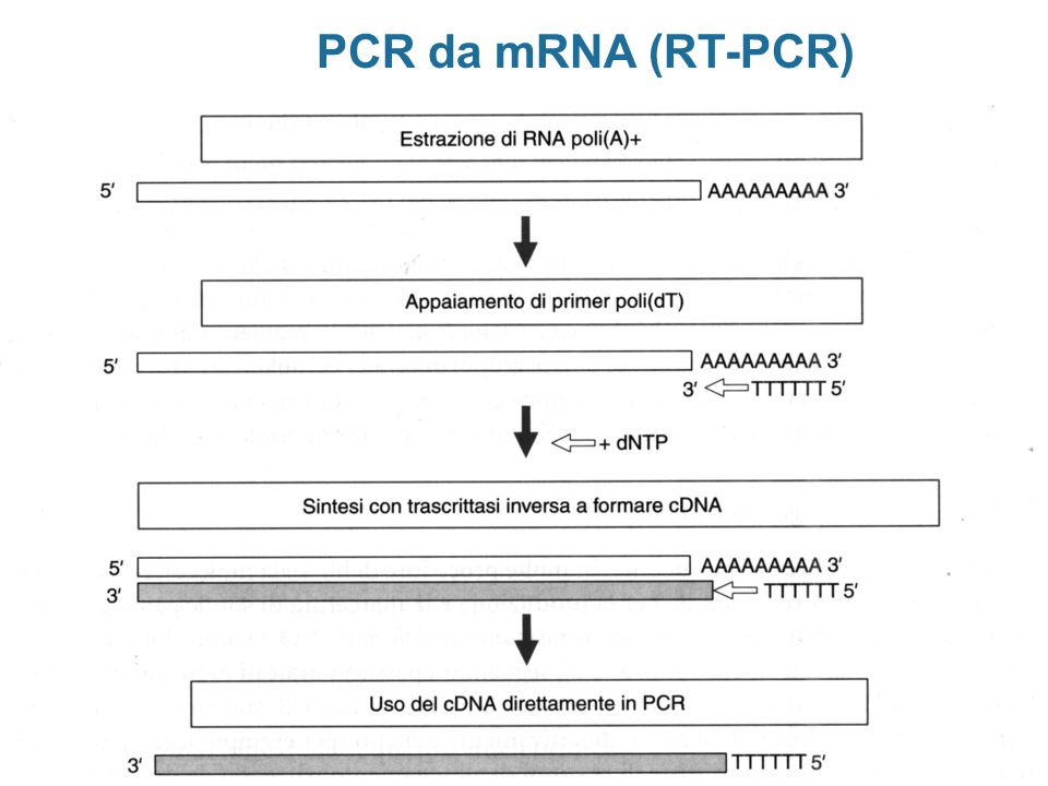 PCR da mRNA (RT-PCR)