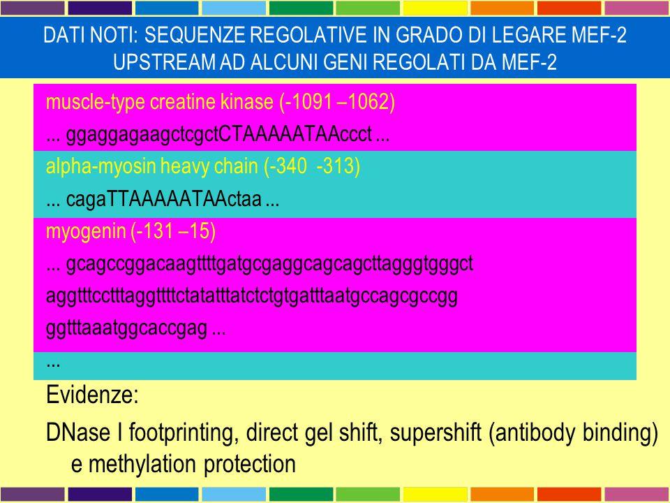 muscle-type creatine kinase (-1091 –1062)... ggaggagaagctcgctCTAAAAATAAccct... alpha-myosin heavy chain (-340 -313)... cagaTTAAAAATAActaa... myogenin