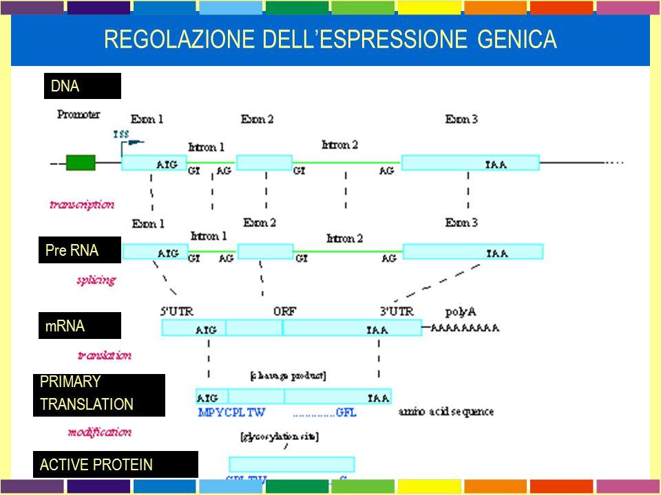 DNA Pre RNA mRNA PRIMARY TRANSLATION ACTIVE PROTEIN