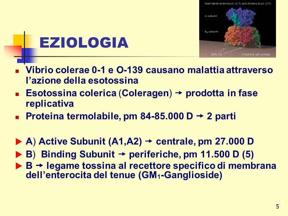 5 EZIOLOGIA Vibrio colerae 0-1 e O-139 causano malattia attraverso l'azione della esotossina Esotossina colerica (Coleragen)  prodotta in fase replicativa Proteina termolabile, pm 84-85.000 D  2 parti  A) Active Subunit (A1,A2)  centrale, pm 27.000 D  B) Binding Subunit  periferiche, pm 11.500 D (5)  B  legame tossina al recettore specifico di membrana dell'enterocita del tenue (GM 1 -Ganglioside)