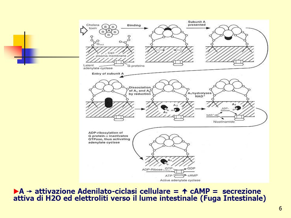 6  A  attivazione Adenilato-ciclasi cellulare =  cAMP = secrezione attiva di H2O ed elettroliti verso il lume intestinale (Fuga Intestinale)