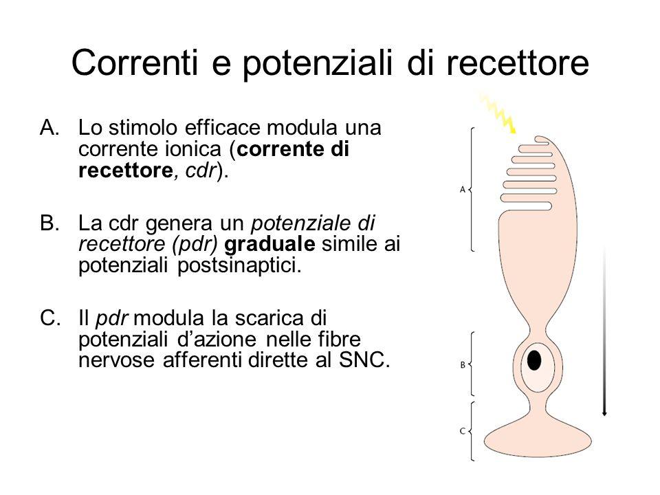 Correnti e potenziali di recettore A.Lo stimolo efficace modula una corrente ionica (corrente di recettore, cdr).
